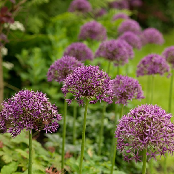 Allium stipitatum 'Violet Beauty'