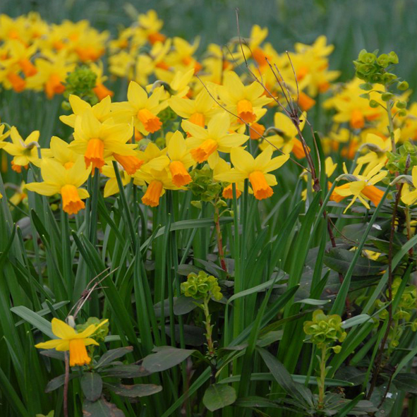 Narcissus cyclamineus Jetfire