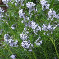 amsonia-hubrichtii-thread-leaf-blue-star