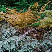 colorful-ferns-in-garden