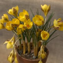 Crocus chrysanthus 'Gipsy Girl'
