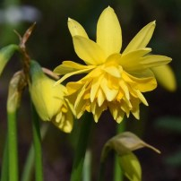 Narcissus 'Tete Bouclee'