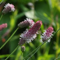 sanguisorba-officinalis-pink-tanna