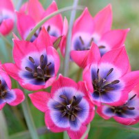 Tulipa hageri Little Beauty
